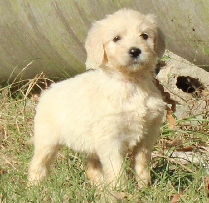 Goldendoodle puppies at Bar C Kennels