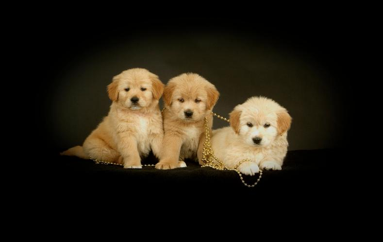 South Carolina Goldendoodle Standard Goldendoodles Puppies